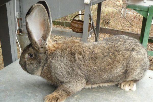 Болезни кроликов и их профилактика