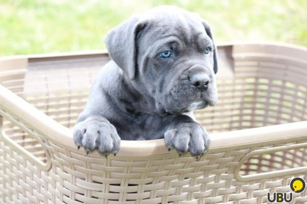 Кане-корсо: как вырастить здорового щенка?