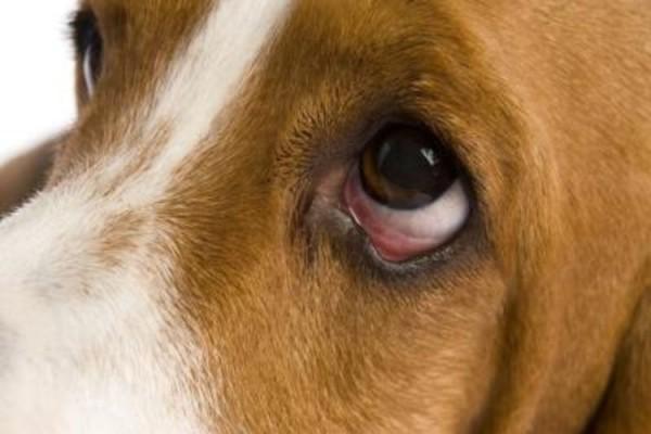 Весна, пыльца и поллиноз: аллергический рино-конъюнктивит у собак