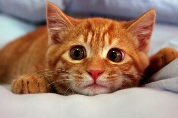 Может ли кошка загулять или забеременеть после стерилизации?