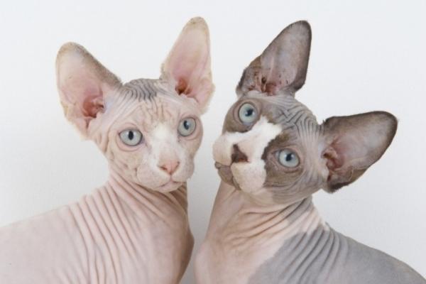 Бесшерстные кошки: особенности ухода