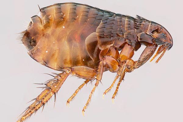 Какие заболевания переносят блохи и комары?