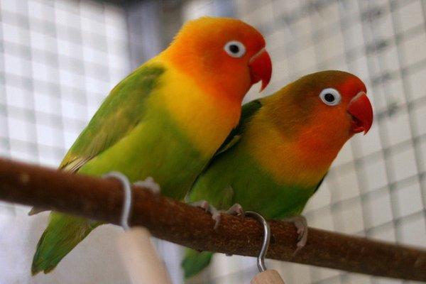 Особенности профилактики эктопаразитов у декоративных птиц