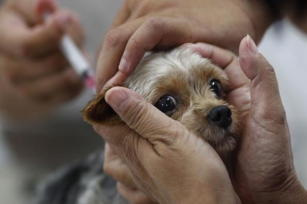 Нужно ли прививать домашнюю собаку от бешенства?