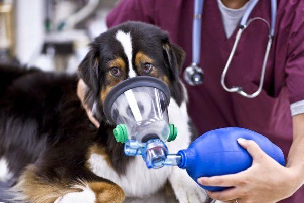 Отек легких у животных: причины, симптомы, лечение
